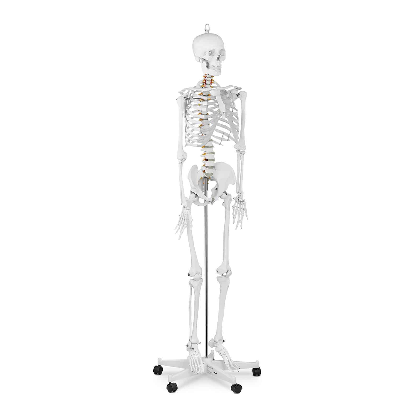 Anatominen malli